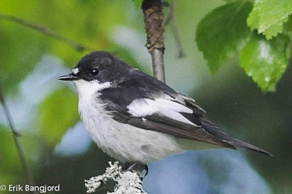 Pied Flycatcher (Ficedula hypoleuca) -> Blackcap (Ficedula