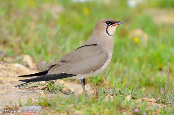 Collared Pratincole Glareola Pratincola Birdids Bird