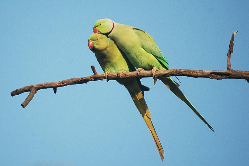 Ring-necked Parakeet (Psittacula krameri) -> Yellow Wagtail