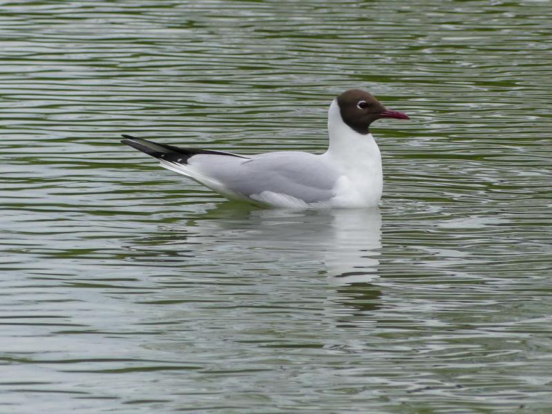 Little Gull (Hydrocoloeus minutus) -> Black-headed Gull